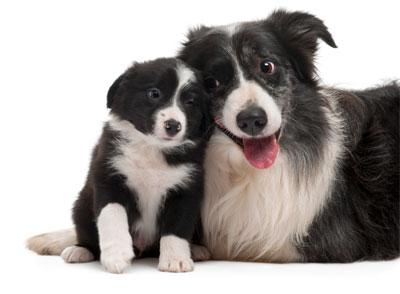 Border Collie Moeder met Pup